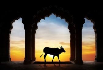 20170518_india_cow_r.jpg